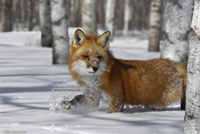 Fox passing through the birch
