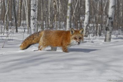 Fox lick
