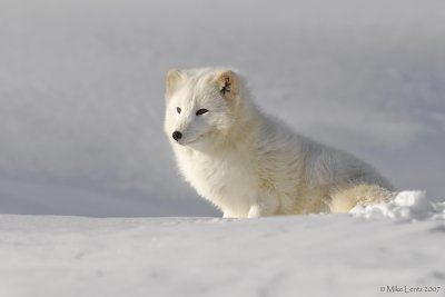 Arctic fox sits patiently
