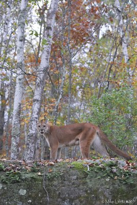 Cougar in birch fall scene