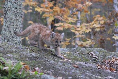 Cougar pup down rock
