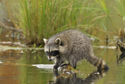 Racoon posted on log