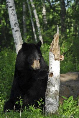 Bear at birch stump