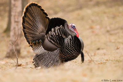 Turkey strutter