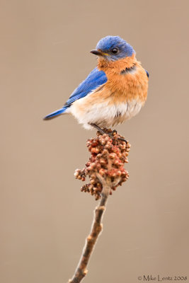 Bluebird sumac scene