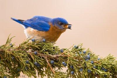 Bluebird berry eater