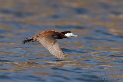 Ruddy duck in flight