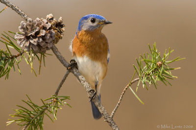 Bluebird female on pine