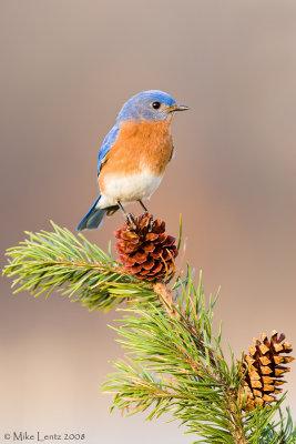 Bluebird on pinecone