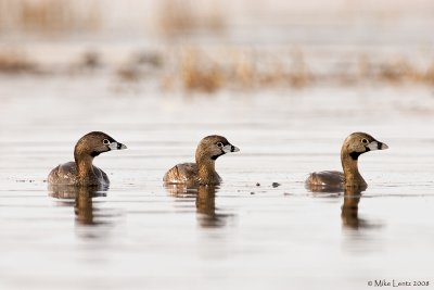 Pied Billed grebe threesome