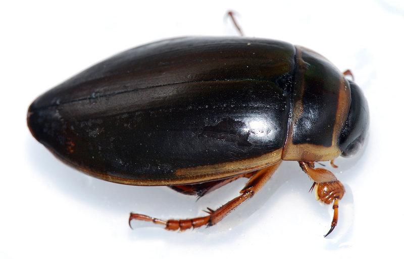 Dytiscus-marginalis.jpg