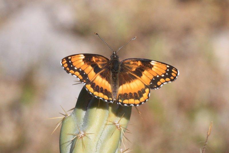 California Patch (Chlosyne californica)