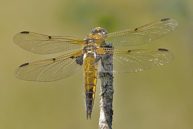 Fourspotted Skimmer, Firflekklibelle, Libellula Quadrimaculata, Female