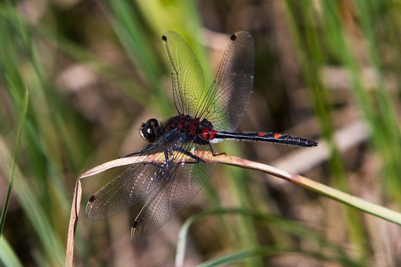 Large White-faced Darter, Stor torvlibelle, Leucorrhinia pectorali, Male