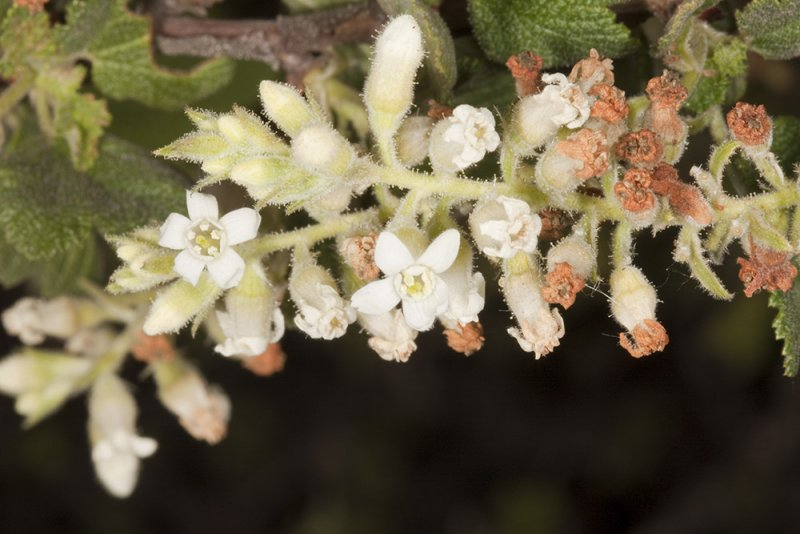 White-flowered Currant (<em>Ribes indecorum</em>)