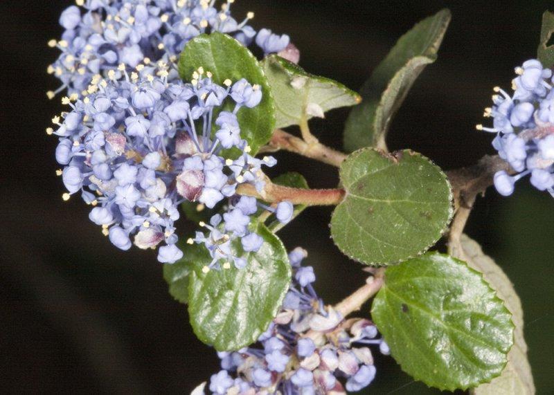Ramona Lilac (<em>Ceanothus tomentosus</em>)