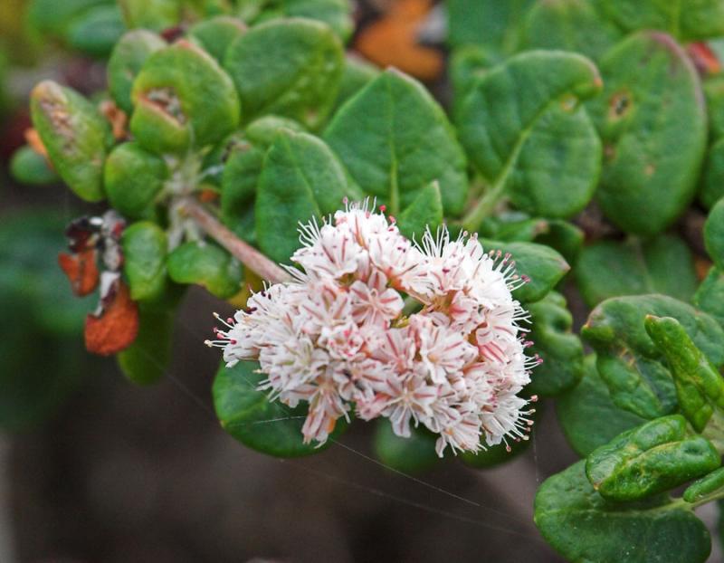 Bluff Buchwheat  (<em>Erigonum parvifolium</em>)