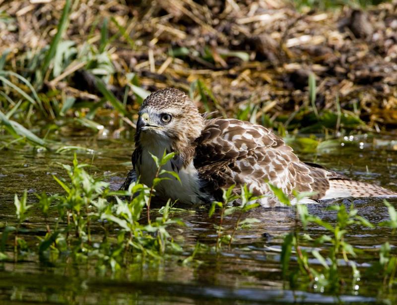 Red-tailed Hawk bathing _S9S5242.jpg