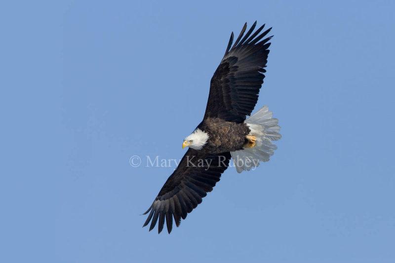 Bald Eagle _H9G0370.jpg