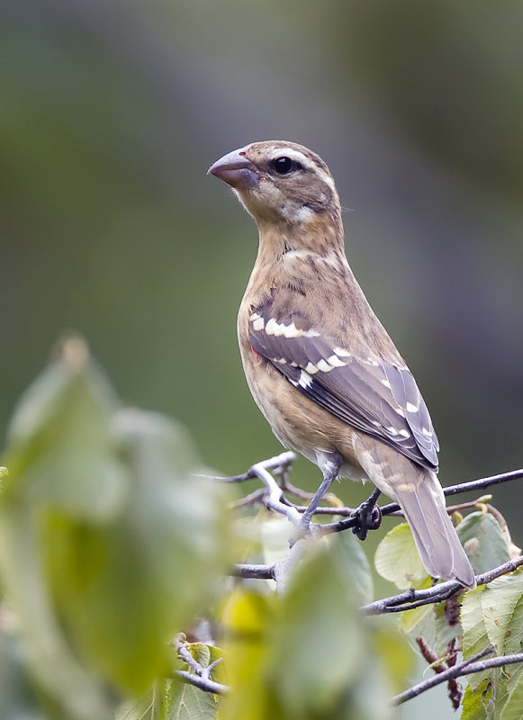Rose-breasted Grosbeak immature