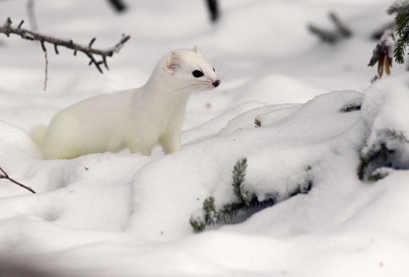 Short-tailed Weasel 3W6963