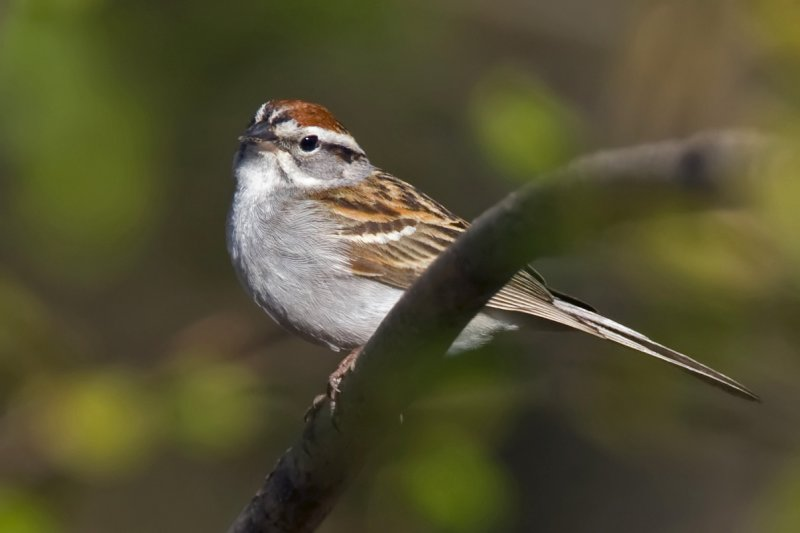 Chipping Sparrow 0129