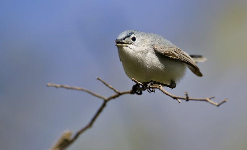 Blue Gray Gnatcatcher 0752