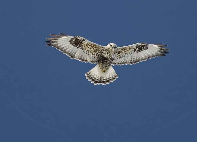 Rough-legged Hawk 8684