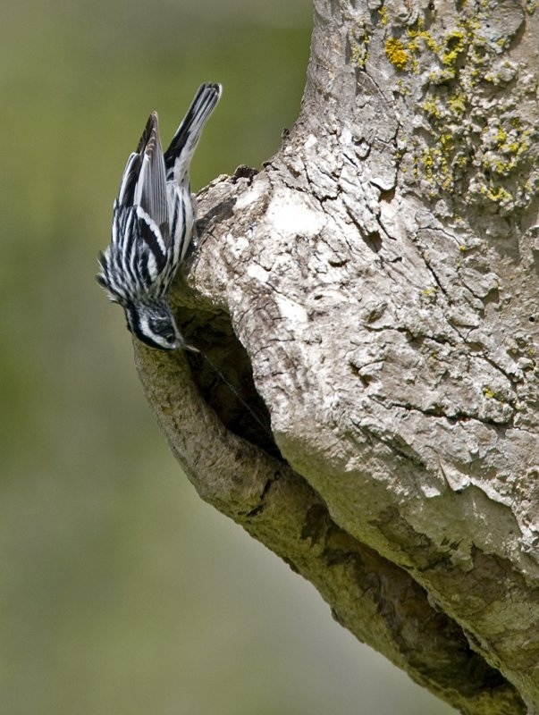 Black and White Warbler 0397