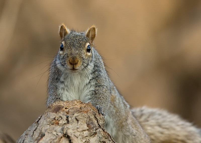 Grey Squirrel 0536