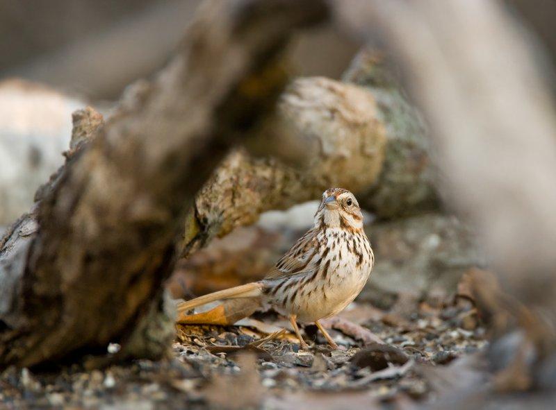 Song Sparrow 0720