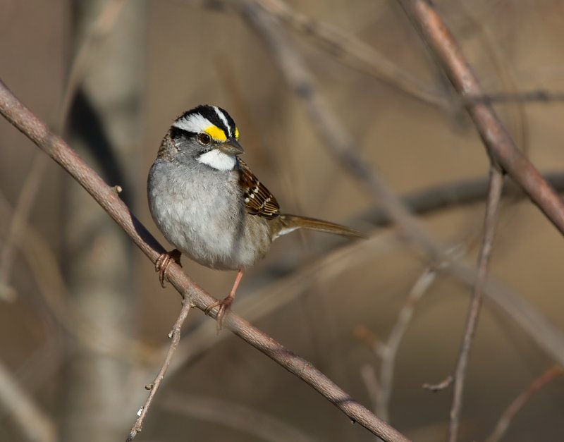 White-throated Sparrow 0408