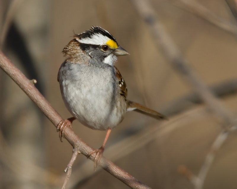 White-throated Sparrow 0409