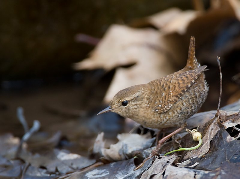 Winter Wren 0506
