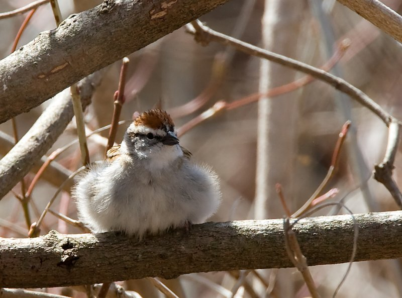 Chipping Sparrow 0642