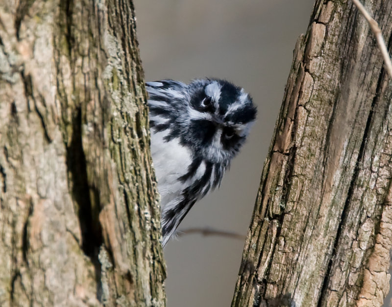 Black and White Warbler 2324