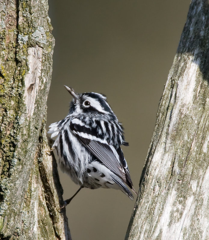 Black and White Warbler 2374