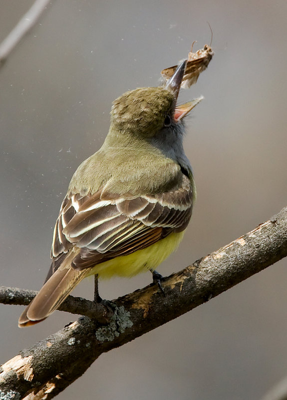 Great-crested Flycatcher 2740