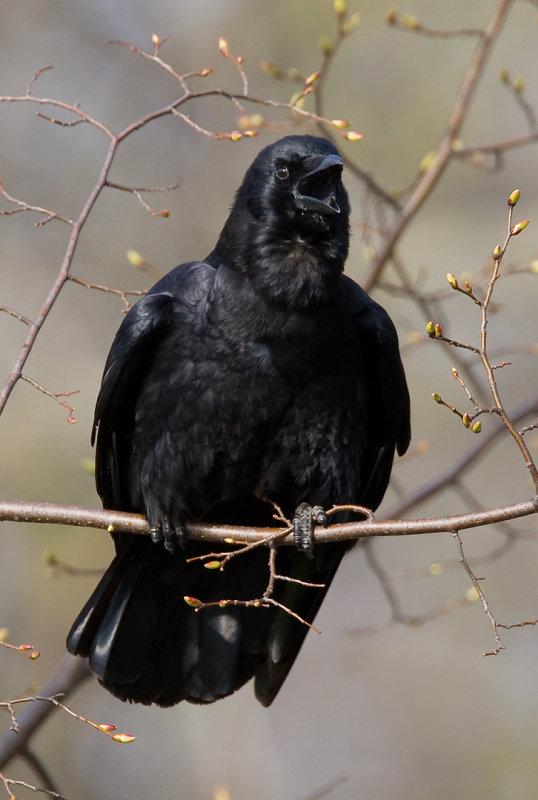 American Crow 4054.jpg