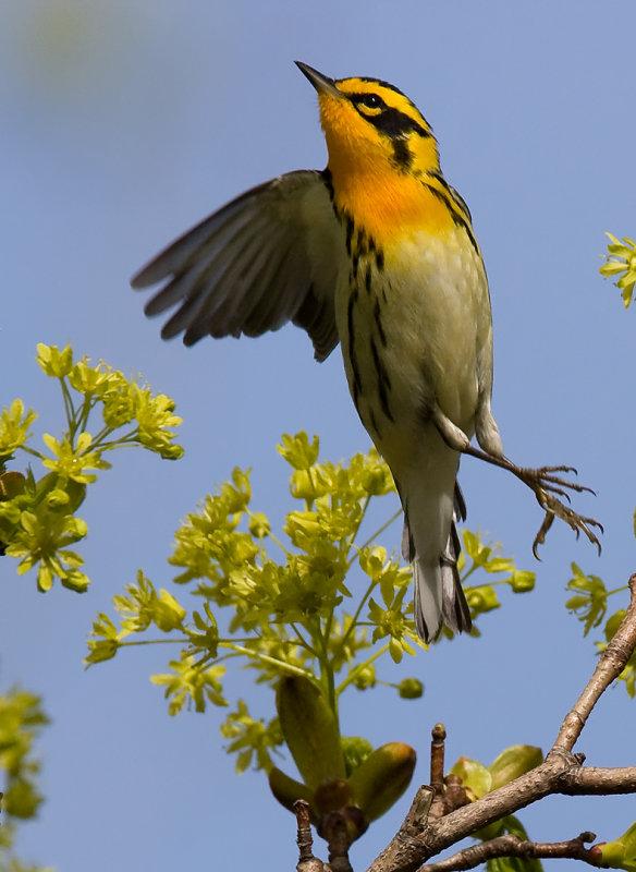 Blackburnian Warbler 4184.jpg