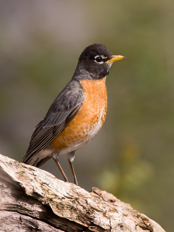 American Robin 4289.jpg