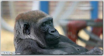 Contented Look (Gorilla gorilla)