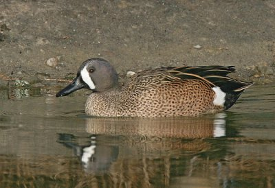 Blue-winged Teal,male