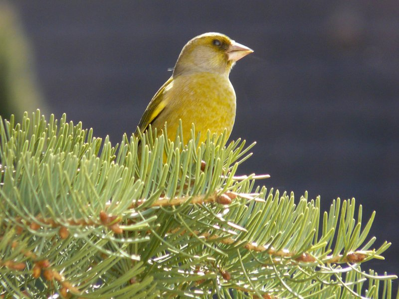 Verdier - Greenfinch