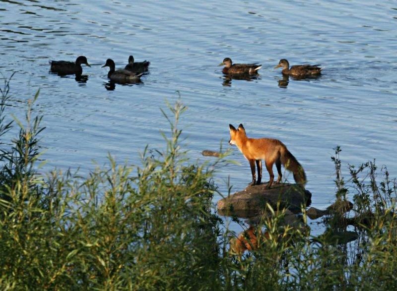 IMG_0132--renard et canards--1200.jpg