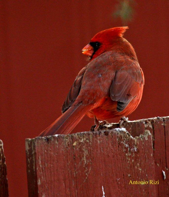 IMG_0015-cardinal rouge-900-ar.jpg