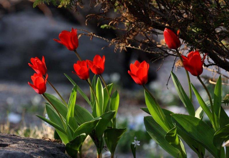 IMG_0149-tulipes-900.jpg