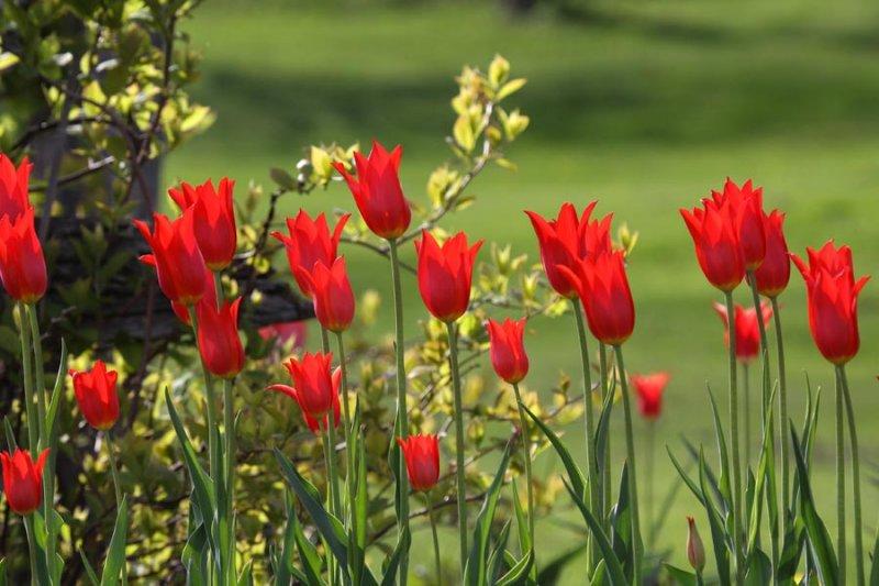 IMG_0162-tulipes-900.jpg