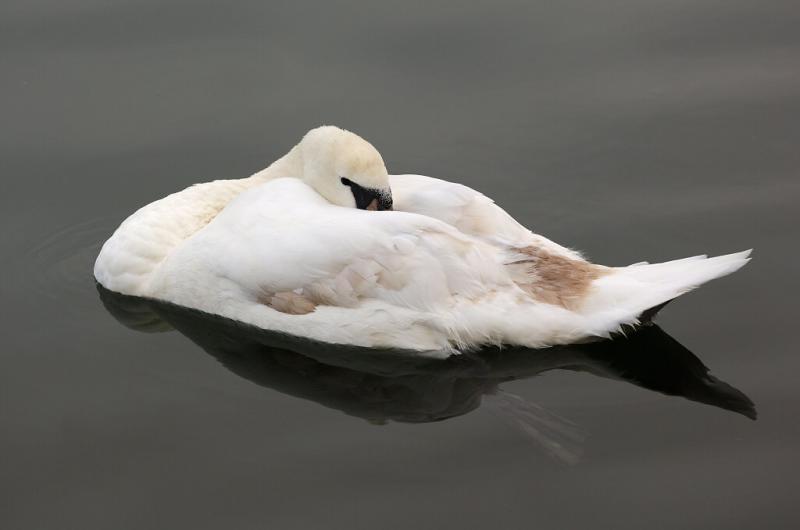 Swan 72.jpg
