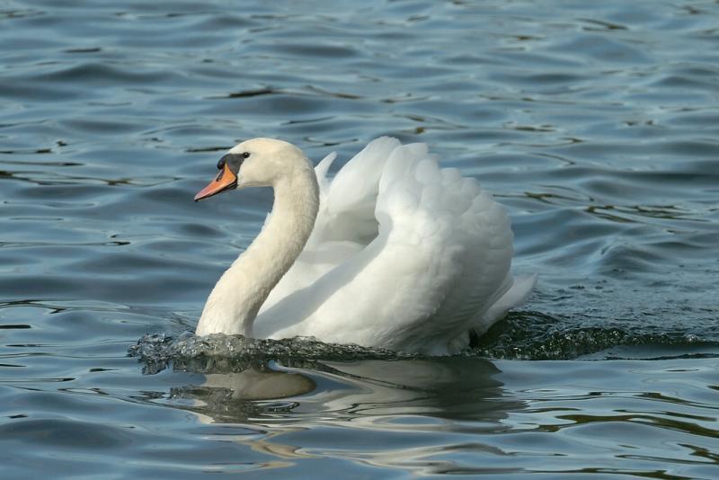 Swan 73.jpg